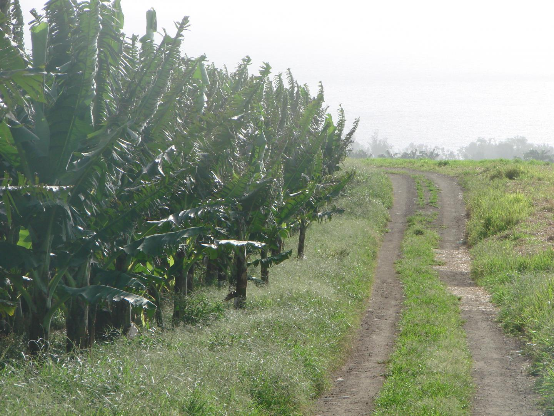 Exploitation agricole la banane durable ville de basse for Entretien espace vert martinique