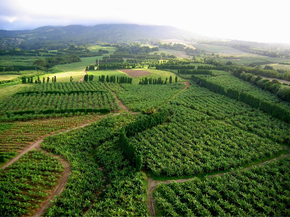 Exploitation agricole culture de l 39 ananas ville de for Entretien espace vert martinique